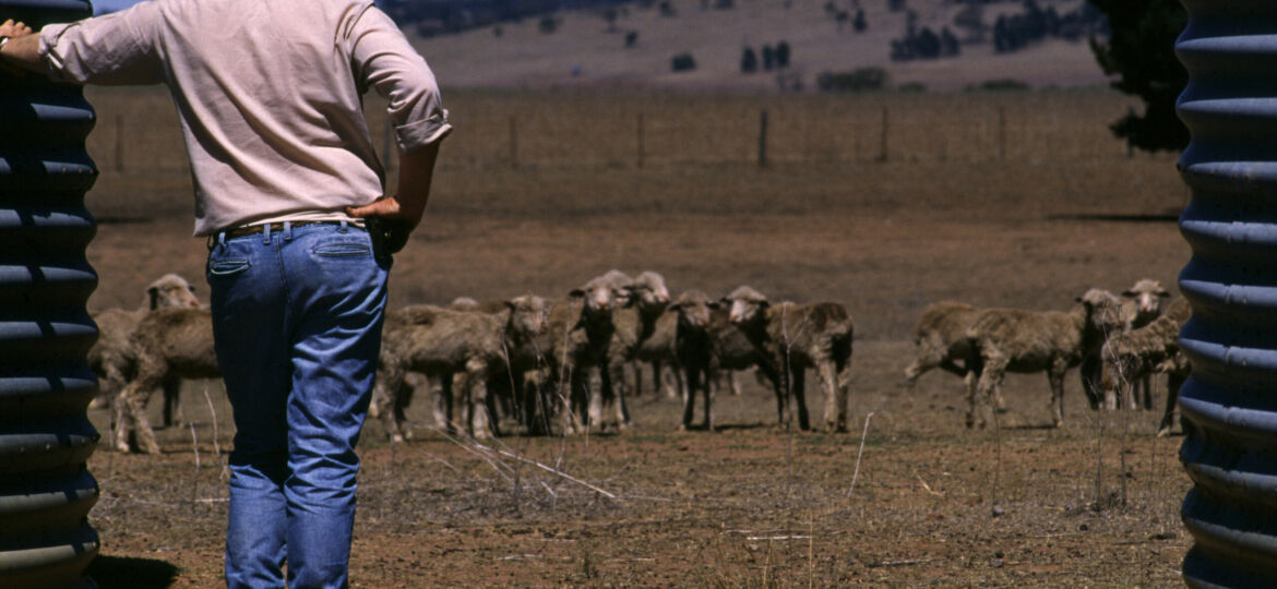 Drought,In,Australia,Farmer,Trying,To,Save,Starving,Sheep,-